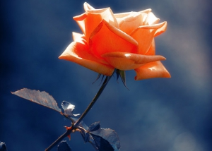 Rose Flower Poster