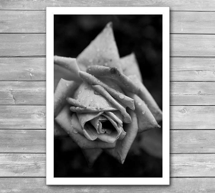 Rose In Drops Photo Poster