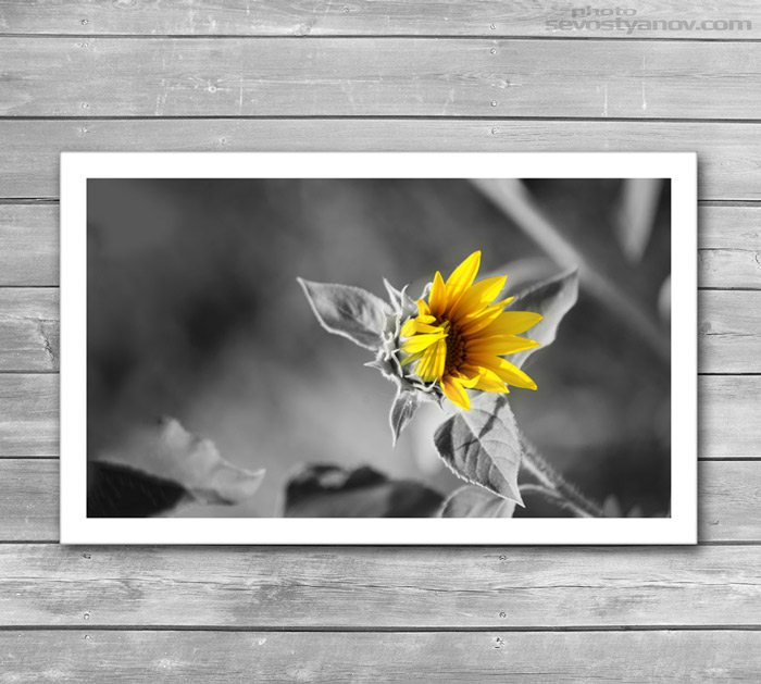 Sunflower Photo Art Print