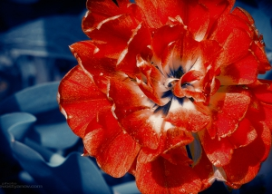 Scarlet Peony Flower Print