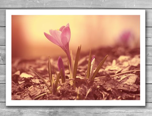 Crocus Photo Print