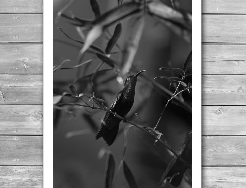 Colibri Black and White Print