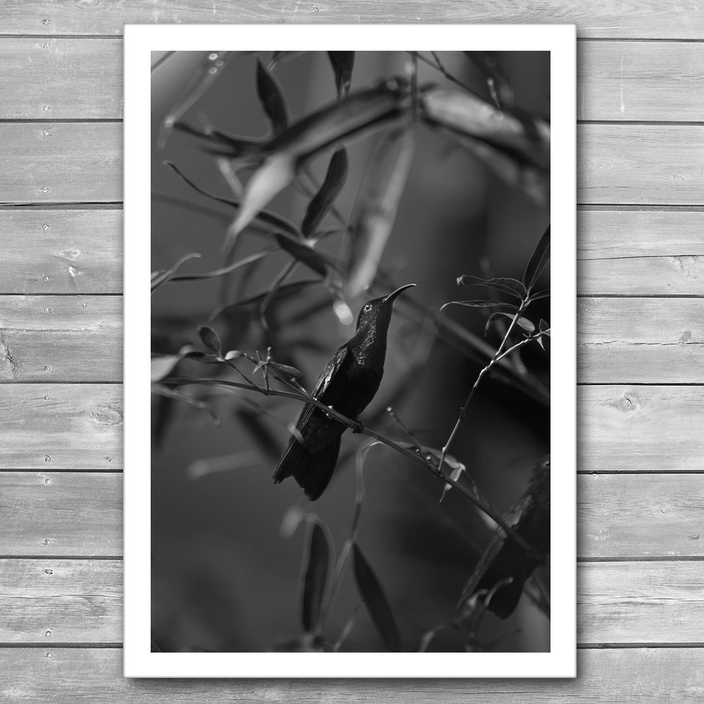 Colibri Black and White Print